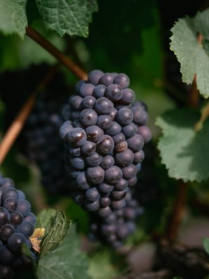 $50 Voucher, Pinot Grigio